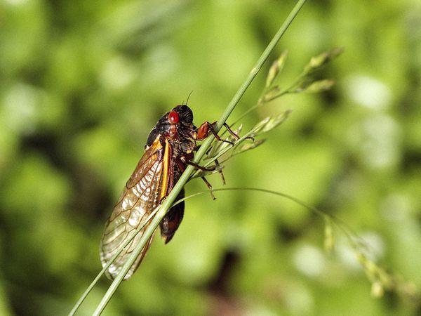 cicada_498_600x450