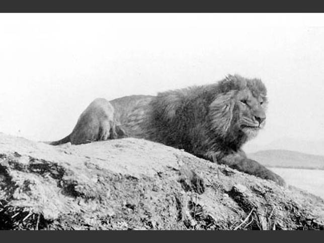 20120720-barbary-lion.jpg.644x0_q70_crop-smart