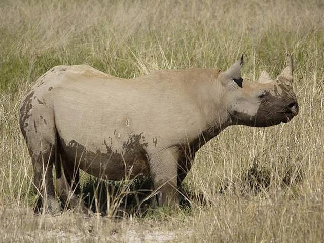 20120720-black-rhino.jpg.644x0_q70_crop-smart (Copy)