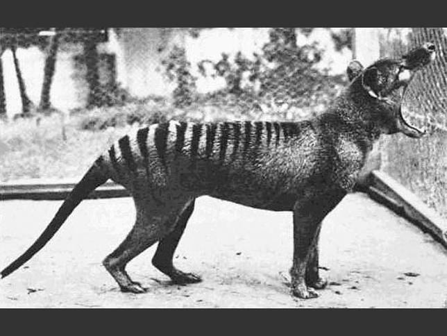 20120720-thylacine.jpg.644x0_q70_crop-smart